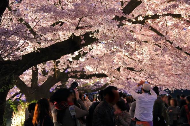 Hàn Quốc bừng sáng trong sắc hoa anh đào